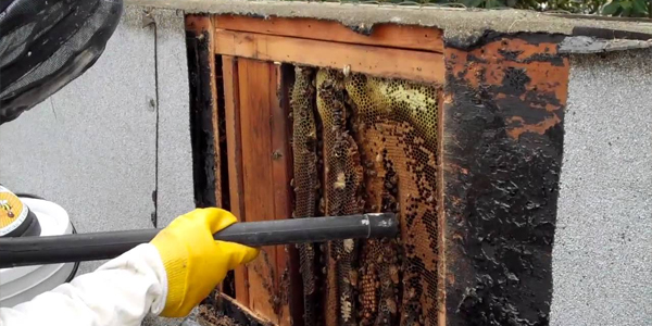 Live Bee Removal Downey California