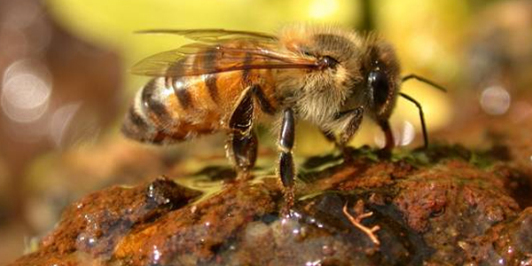 The Africanized Honey Bee