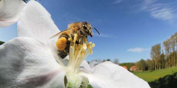 Why Do Bees Collect Pollen?