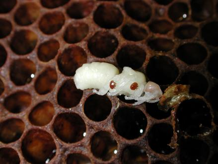 New MSU research reveals that Varroa mites, the most-serious threat to honeybees worldwide, are infiltrating hives by smelling like bees. Photo by Zachary Huang