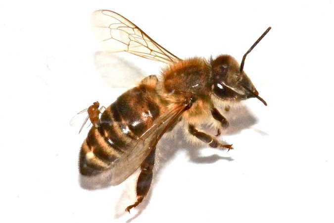 Bee Removal Redlands