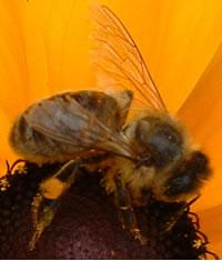 bee-visiting-flower