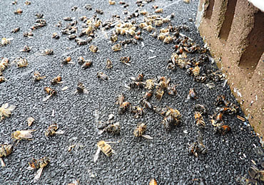 How to Prevent Bee Extinction