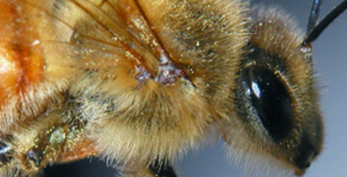 Values of Honey Bees and Yellow Jacket Bees