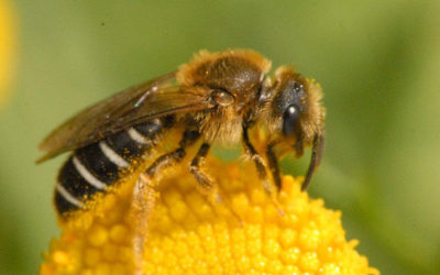 relocate honey bees to a safer location