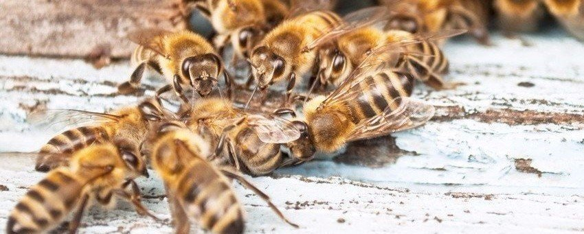 How To Protect Bees - USA Live Bee Removal