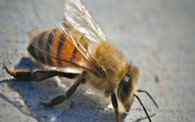 How To Safely Remove Africanized Bees