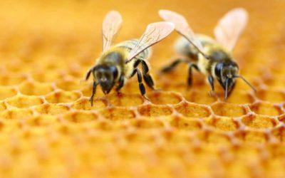 Temecula Honey Bee Removal