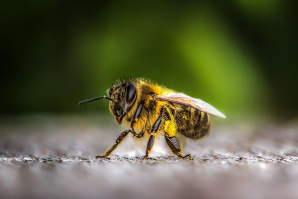 Honey Bees Need Saving