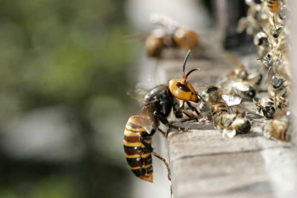Beekeepers & Murder Hornets