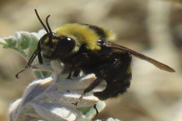 Upland Bee Removal Services