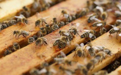 Live Bee Removal Corona