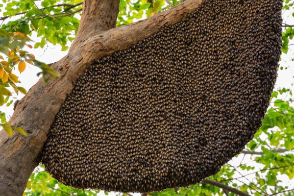 Live Bee Removal Beaumont