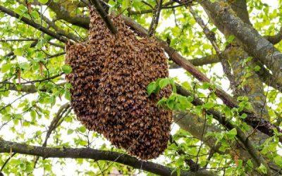 Bees Hibernate Too